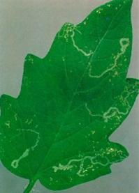 liromyza01